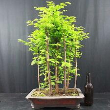 Mammutbaum, Metasequoia, Waldgestaltung, Outdoor-Bonsai, 17 Jahre, 61 cm Höhe