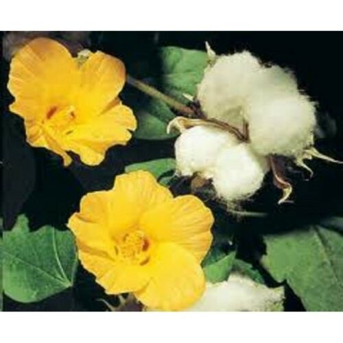 Seeds Hlopchatnik Yellow Flower Annual Outdoor Garden Organic Heirloom Ukraine