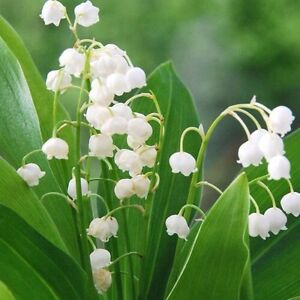 Image Is Loading Convallaria Lily Of The Valley Pip 1 Dormant