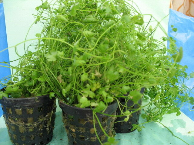 1 X Potted Hydrocotyle Japan  easy aquarium plants