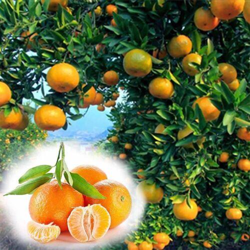 50 Stücke Pflanzen Samen Exotische Saatgut Zimmerpflanze Zimmerbaum Orangenbaum