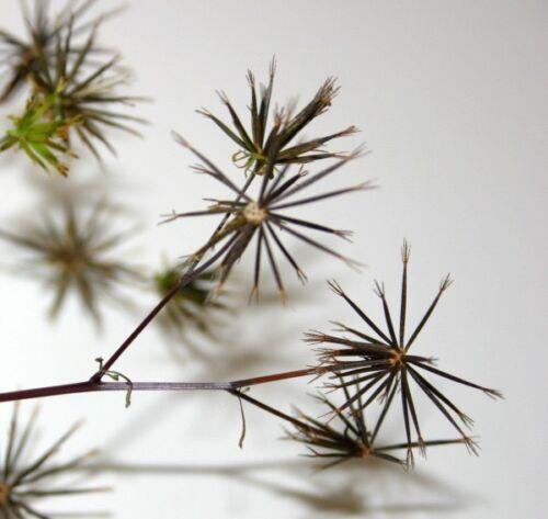 Spanish Needles Bidens Pilosa Biden's Alba Butterfly Needles Romerillo 35 Seeds