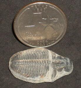 Elrathia-Kingii-Trilobite-1-12-Victorian-Cabinet-Curiosities-Fossil-Library-6001