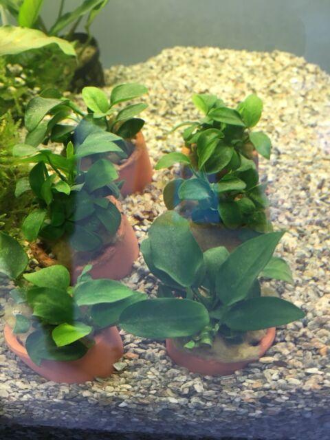 Live Aquarium Fish Tank Plant Anubias Nana In Terracotta Pot
