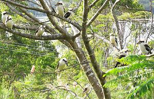 TROPICAL AUSTRALIA* RARE FRIENDS 10 KOOKABURRAS ON POINCIANA TREE LAKE TINAROO