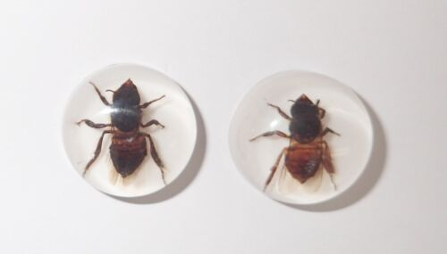 Insect Cabochon Honey Bee Apis mellifera Round 19 mm on white 3 Pieces Lot