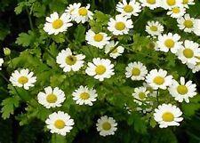 Feverfew (Chrysanthemum Parthenium)- 100 seeds