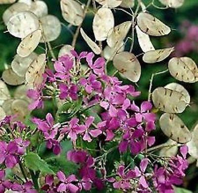 MONEY PLANT FLOWER SEEDS - BULK - B