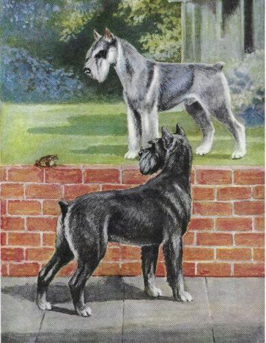 MATTED Vintage Color Dog Print Schnauzer