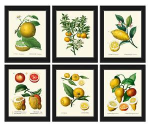 Unframed Botanical Print Set of 6 Antique Vintage Fruit Lemon Citrus Wall Art