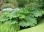 25 Gunnera Manicata Seeds graines de Gunnère du Brésil Rhubarbe géante
