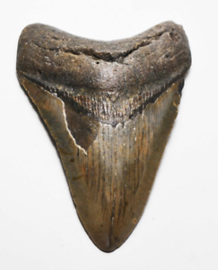 MEGALODON-TOOTH-3-87-INCHES-FOSSIL-PIRATE-GOLD-COINS-TREASURES-OF-THE-JURASSIC