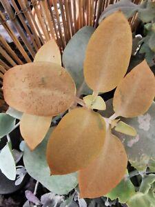 KALANCHOE-ORGYALIS-039-039-Copper-Spoons-039-039-1-x-Stem-Cutting-Succulent-plant-Esqueje