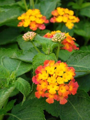 Confetti Lantana Camara Flowers Two 2 Natural Mosquito Repellant Live Plants
