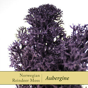 Dried-Reindeer-Moss-Aubergine-Purple-Perfect-for-air-plants-amp-Crafts