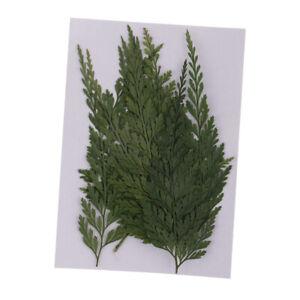 12 Pressed Fern Leaves Plant Organic Dried Flower DIY Art Craft Floral Decor