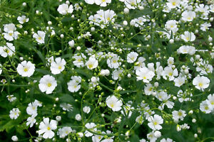 Babys-Breath-Seeds-Convent-White-Ground-Cover-Seeds-Heirloom-Annual-100ct