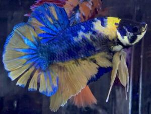 Live Betta Fish Male Import Giant Yellow/Blue Monster HMPK Betta #667