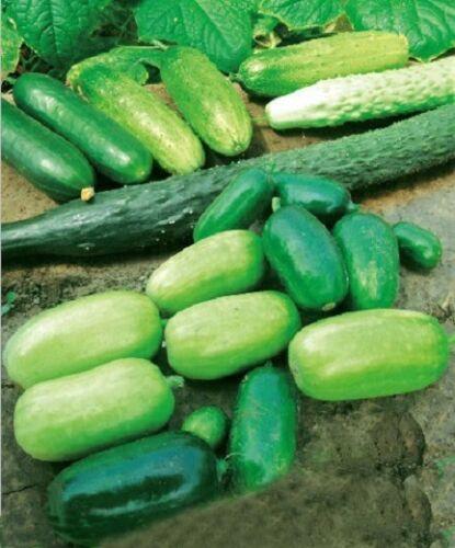 Variété de Légumes Graines Heirloom Japon néerlandais fruits Concombre semences Cucumis Non-OGM