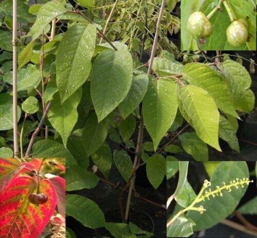 Sapium japonicum Talgbaum Japanischer Saftbaum