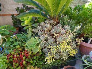 tres-grand-lot-de-BOUTURES-plantes-faciles-a-vivre-verveine-infusion