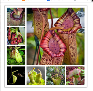100-mix-seeds-Real-Nepenthes-Rare-Penthes-Pitcher-Flytrap-Imported-Bonsai-Flower