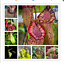 100-mix-seeds-Real-Nepenthes-Rare-Penthes-Pitcher-Flytrap-Imported-Bonsai-Flower thumbnail 1