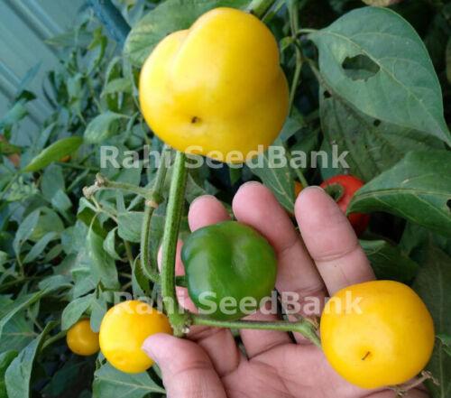 8 Seeds Shiny Yellow Hot Chilli Variety Chilli Rocoto Oro Yellow A Large