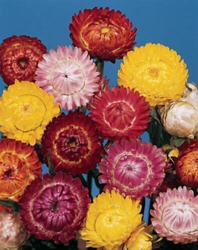 Dwarf Strawflower /'Tom Thumb/' Mixed Colour Seeds Native Good Cut /& Dried Flower