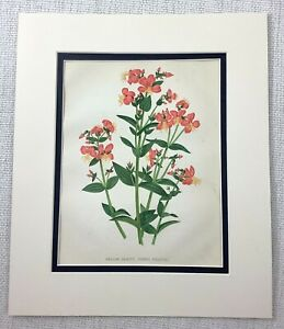 1877 Antique Botanical Print Meadow Beauty Orange Pink Flowers Chromolithograph