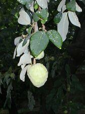 Annona cherimola - Crema pasticcera Apple - 10 Semi Freschi