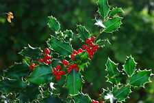English Holly - Ilex Aquifolium - 50 seeds - Christmas Berries - Ornamental
