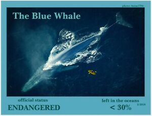 The-Blue-Whale-an-Endangered-Species-card-by-034-PostcardsTo-SaveThePlanet-034