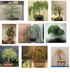 Ultimate-Willow-Bonsai-Bundle-9-types-of-Willow-Bonsai-Material-Exotic-Rare