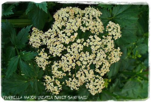 "Pimpinella Major /""GRANDE PIMPRENELLE-Saxifrage/"" 200 graines EX. Derbyshire, Angleterre"