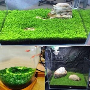 Plante-Graines-Fish-Tank-Aquarium-Aquatic-Eau-Herbe-decor-jardin-foreground-Plant