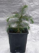 Serbian Spruce, Picea Omorika, Christmas Tree Conifer Seedlings in Pots