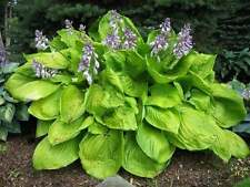 """HOSTA 'Sum and Substance~Pale Lavender~ """"Plantantain Lily"""" 30+ Perennial Seeds"""