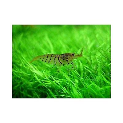 6x Freshwater Tiger Shrimps