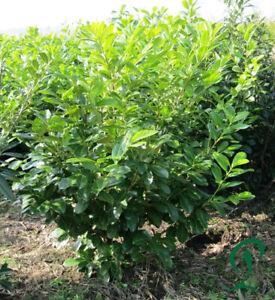 Kirschlorbeer-Novita-140-160-cm-8-14-x-Prunus-Novita-Hecke-inkl-Versand