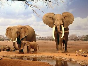 ELEPHANTS-8X10-GLOSSY-PHOTO-PICTURE-IMAGE-5