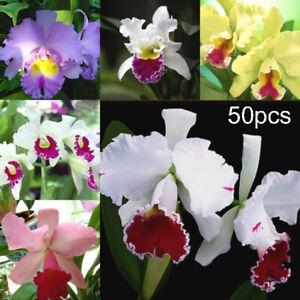 Am-50x-Mixed-Color-Cattleya-Seeds-Plant-Garden-Bonsai-Ornamental-Flower-Decor-S