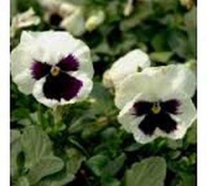 Ullswater 50 Seeds Pansy