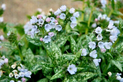 Ivy leaved toad flax Ground cover Cymbalaria Muralis in a 9cm pot