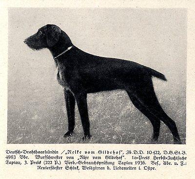 Nelke Vom Gildehof Deutsch-drahthaarhündin Jagdhunde & Züchter 1930-40 Neueste Mode
