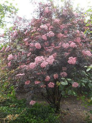 Sambucus nigra Black Lace - Fern Leaved Elder,Plant in 9cm Pot
