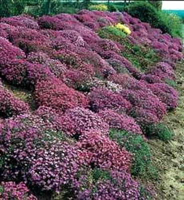 400 RAINBOW ROCKCRESS MIX Aubrietia Flower Seeds CombSH