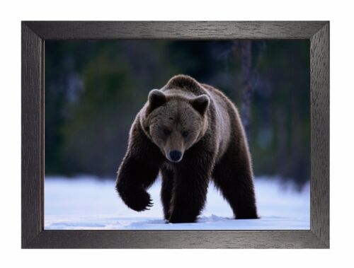 Bear In The Snow Adventurer Animal Poster Sweet Cute Animals Picture Teddy Photo