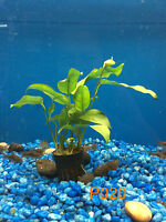 Anubias Species 'short & Sharp' - Potted Plant P020