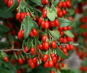 GOJI-BERRY-WOLFBERRY-400-SEEDS-Lycium-Chinense-TREE-SEEDS